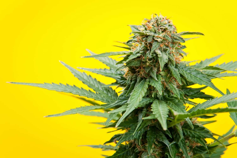 Regular vs Medical Marijuana