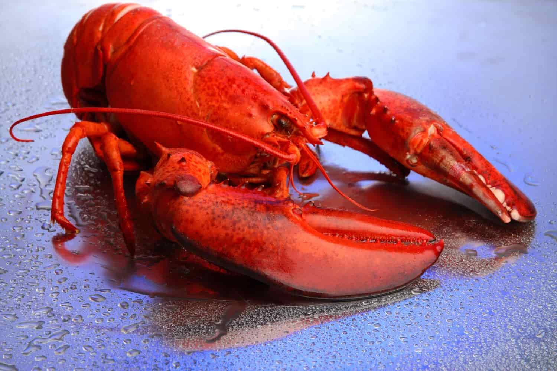 lobster marijuana study